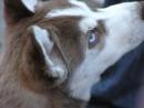 Взгляните на глазки этого пёсика...похож на волка.