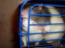 мои крысы!