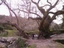 це одне дерево, а не два....йому 2000 років...можна тільки собі уявити скільки там скрито під землею))