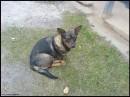 собака з Пірогово.... а взагалі їх там багато.. шкода що не змогла зз усіма познайомитися... такі гарні...