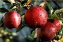 обожаю красные яблоки :)))
