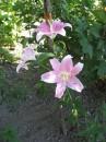 если роза - это королева цветов, то лилия - принцесса..
