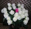 .И роза в росе, ловит звуки  мембранами всех лепестков,  в предчувствии скорой разлуки –  забвения острых шипов.    И в этом извечном сюжете  пустеет в аллее скамья,  где роза дрожит на рассвете,  влюбленная в трель соловья.
