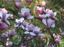 29 апреля / ностальгия...  воспоминания... магнолия...