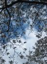 Небо в магнолиях. ...Они уже давно отцвели, странно, что я не загрузила эту фотку, как-то мимо прошла. Вот напоминаю, что такие белые мгнолии в Киеве )) (все тот же ботсад им.Фомина)