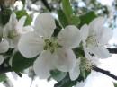 Яблуня квітне. Вважається, що цвіт яблуні і вишні - це символ материнства.