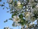 Яблуня і Небо