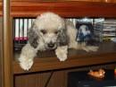 Собачка моей мамы! ;-) Порода неизвестна - называют породу Оболонка!