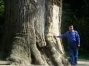 Тысячилетний дуб (под Чигирином)