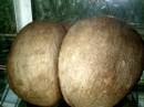плод экзотической пальмы