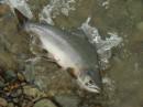 Гарбуша. рыбы столько шо можно руками ловить.
