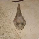 Океанська піздюлинка. Знайдена 07.07.18 в пакеті з креветками.