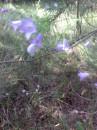 калакольчики в лесу