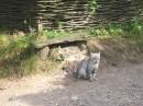 український кіт.. доречі, дуже ласкавий - я йому одразу сподобалася.