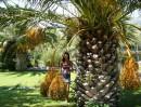 Чудо-пальма с чудо-плодами