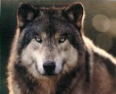 я волк одинокий