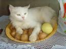 Кошка с яблоками.Кушать подано!
