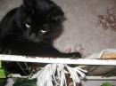 Мой старшенький котик-Жучок.