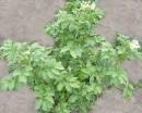 Вид куста картофеля, не пострадавшего от нашествия колорадского жука или от болезней, радует.