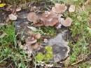 """Грибы можно выращивать на даче в пеньках. Я купил мицелий гриба """"Вешенка"""", заделал его в пень и через пару месяцев появились грибы!"""