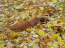 Собака притворилась листиком:) Греется:)