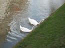 Лебеди пасутся...
