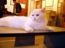 Кот Фёдор у меня на работе, раслабляется!!!