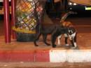 Израильские кошки, лябовь...