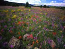 Field of Locoweed, Apache-Sitgreaves National Forest