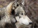 и так,  однажды я рожден был волком...