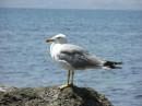 кАкАя бАльшАя курицА %) хи  =) красивые птички, в карадагском заповеднике  их уйма....откормленые :)