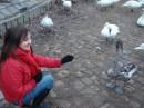 лебеди на реке Влтави