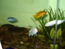 Мои рыбки) хищнички