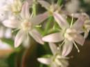 цветы денежного дерева