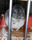 my chinchilla :)