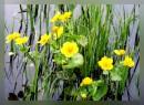 цветочек болотный