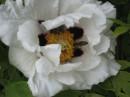 Цветут цветы, жужжат шмели...