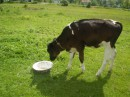 а ето ЛАСУНЯ маленькая коровка от которой я бегала по всему селу