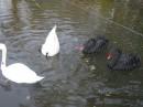 Зоопарк в докучаевске,просто прикольный лебедь...:)