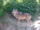 серый волк...почему-то не серый