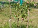 """Мне продали саженец яблони и сказали: """"Джонатан"""". Я хотел иметь такой сорт и купил. В этом году яблонька родила 13 яблок. Все, кто видел яблоньку, говорили в один голос: """"Это не Джонатан!"""" А Вы что скажете?"""