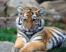 Прошу любить и жаловать - Panthera Tigris, jr