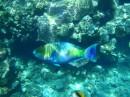 Рыба-попугай зеленый