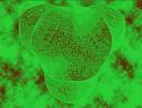 Сrapiollaria Сordialis. X3000