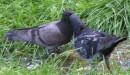А вы видели целующихся голубей?.. (подарок aauumm на ее праздник)