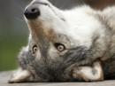 мой взгляд на мир, сквозь волчьи расницы..