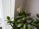 Вот так цветет денежное дерево... я видела это впервые...