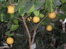 Апельсины на дереве, как яблоки. Капец...;))