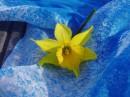 и опять нарциссик....%)) моя улюблена квіточка.%)