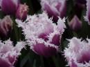 ніколи у житті я раніше таких тюльпанів не бачила...%)